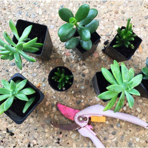 Succulents for gift bag